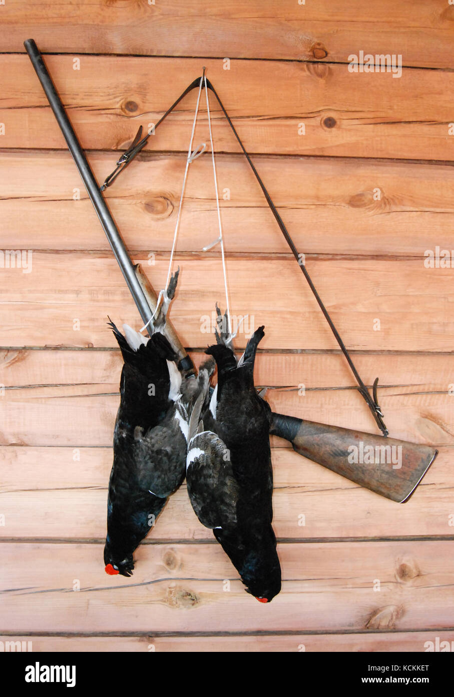 two hunted black grouses (Tetrao tetrix) lying on a wooden wall with rifle as a trophy - Stock Image
