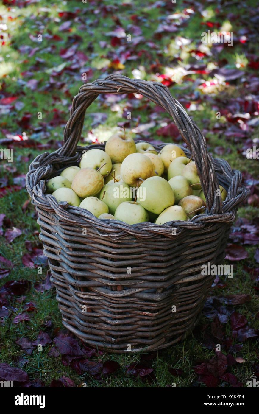 Apple Harvest - Stock Image