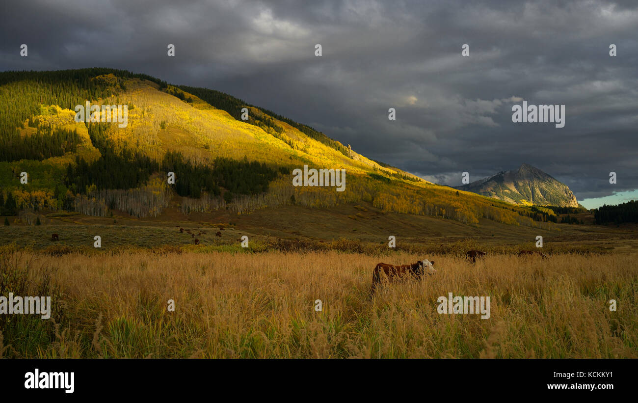 This is the picture of Crested Butte Mountain in Colorado in Autumn with Aspen Yellow leafs and cows. - Stock Image