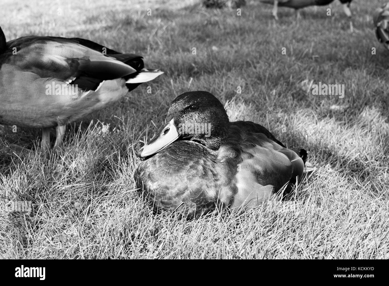 Male duck rests on grass in black and white - Stock Image