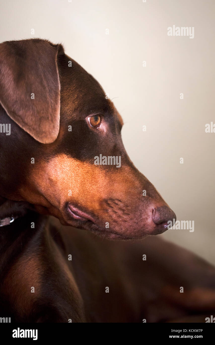 Portrait of a Doberman Pinscher laying on step looking down - Stock Image
