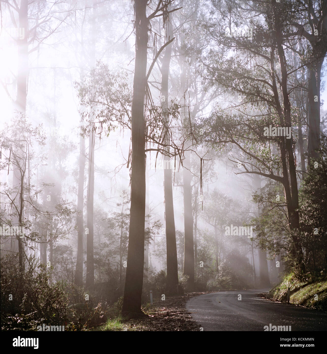 Mountain ash (Eucalyptus regnans), Yarra Ranges National Park, Victoria (east of Marysville), Australia - Stock Image