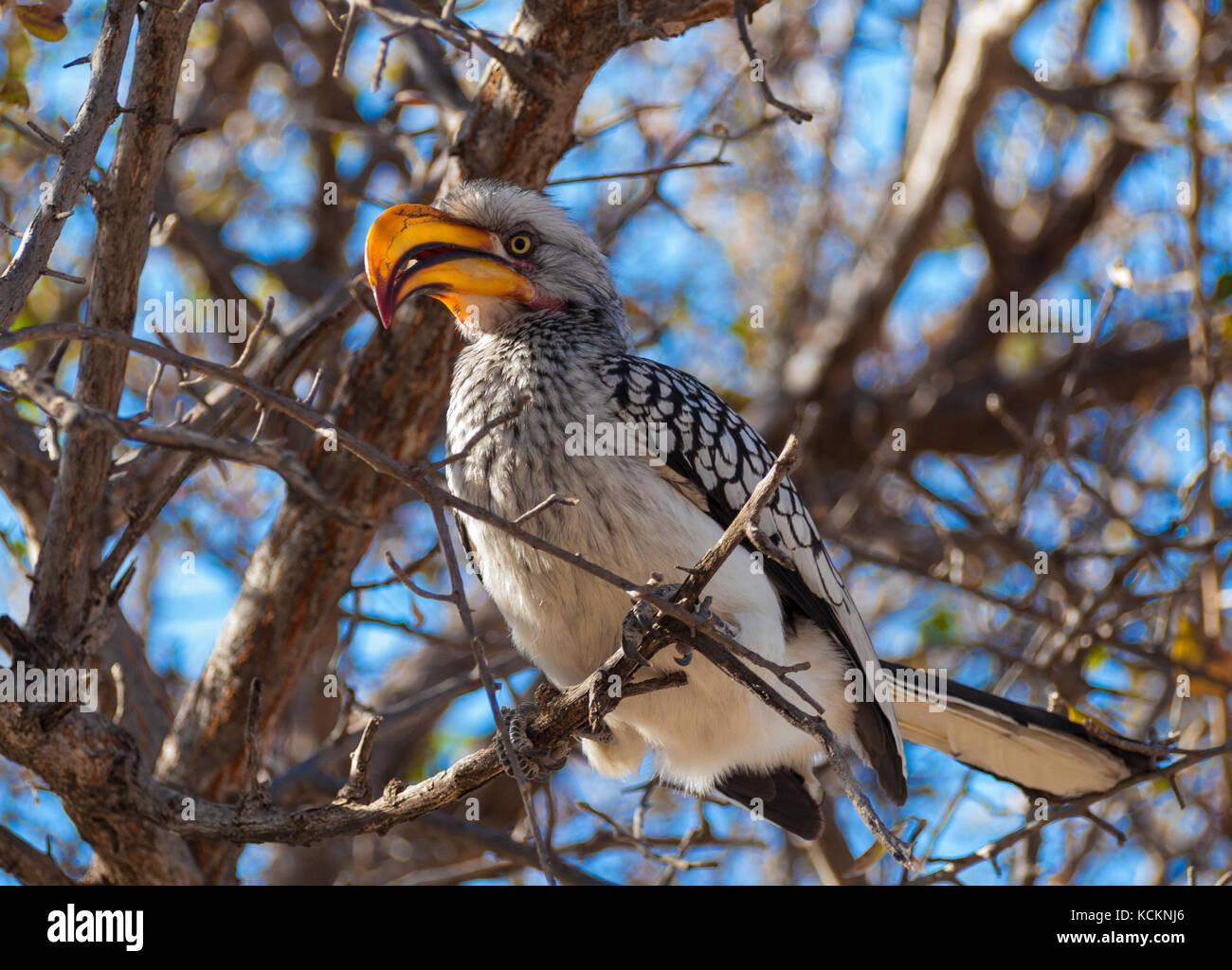 Hornbill in the Central Kalahari Game Reserve, Botswana - Stock Image