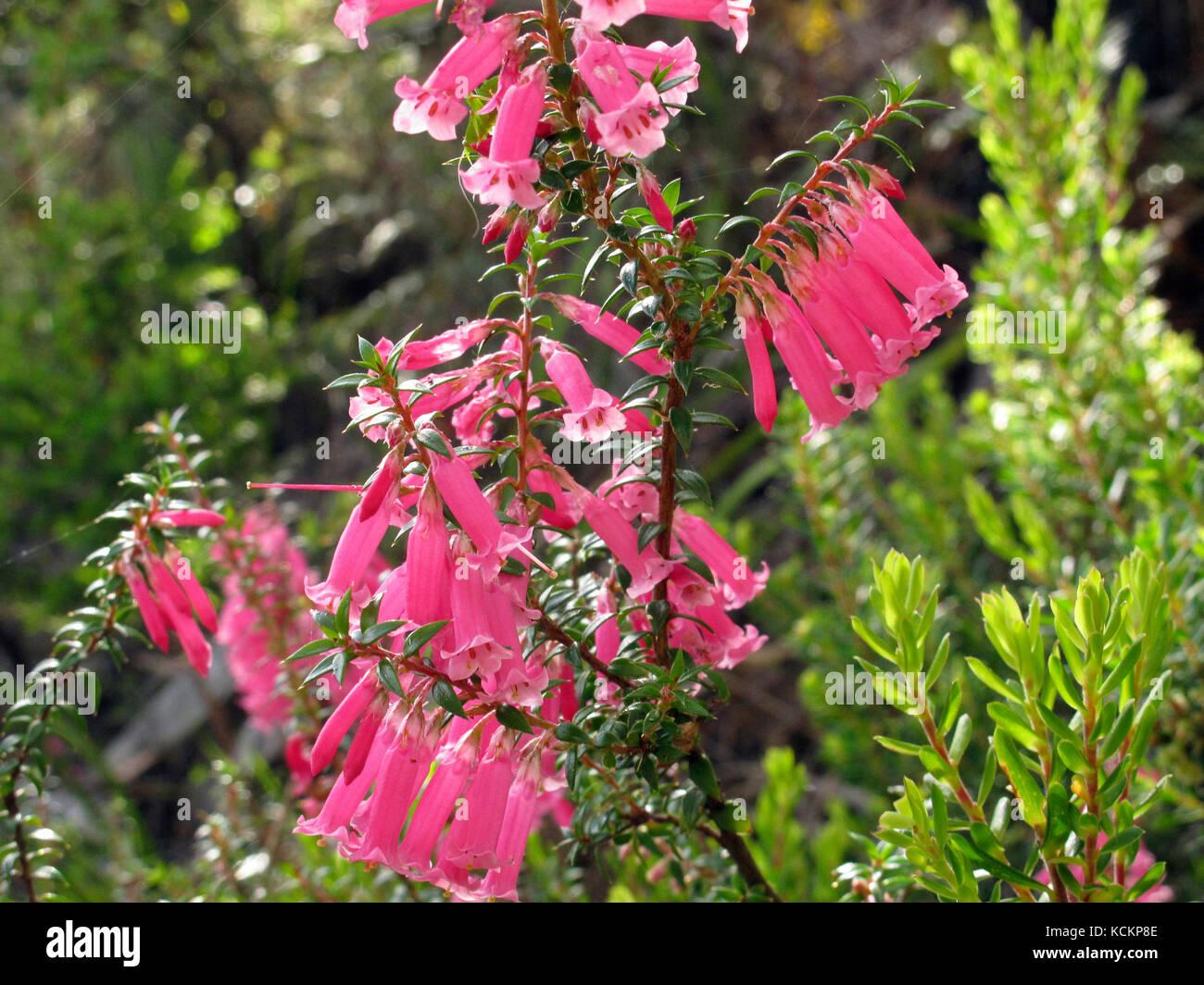 Pink Heath Pink Form Stock Photos Pink Heath Pink Form Stock