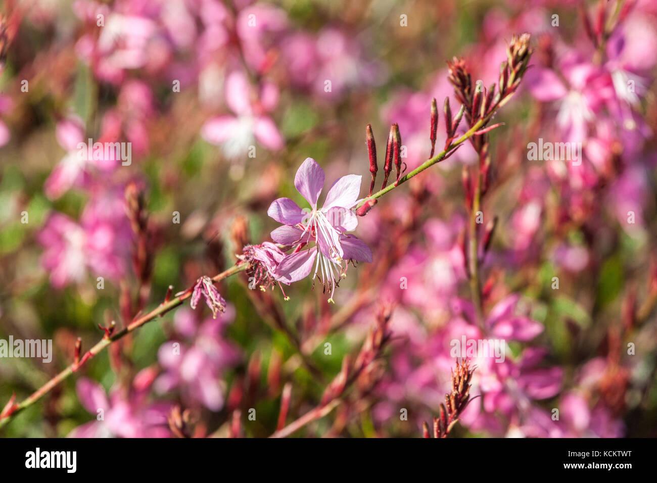 "Gaura lindheimeri "" Geyser Pink "" Stock Photo"