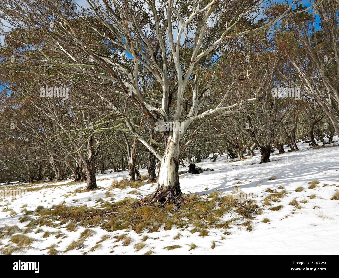 Snow gum (Eucalyptus pauciflora) in alpine woodland. Mount Hotham, Victorian Alps, Victoria, Australia - Stock Image