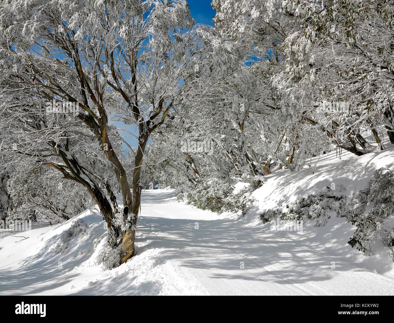 A cross-country ski trail after early morning grooming. Snow gums (Eucalyptus pauciflora) line the trail. Falls - Stock Image