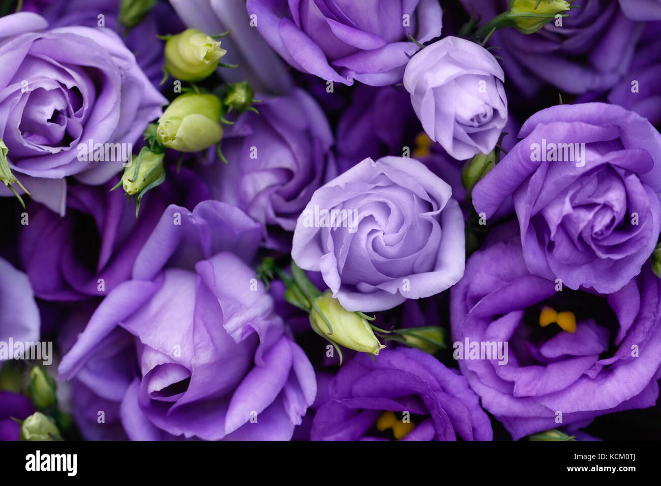 Pink and purple roses stock photos pink and purple roses stock beautiful purple roses background stock image izmirmasajfo