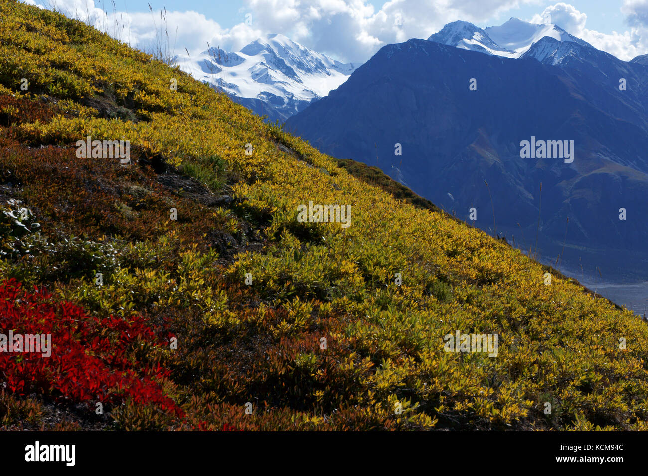 Alpine tundra hillside withdwarf willow and bearberry  leaves in fall colors with glaciated mountains above Slim river valley, Sheep creek trail inShe Stock Photo