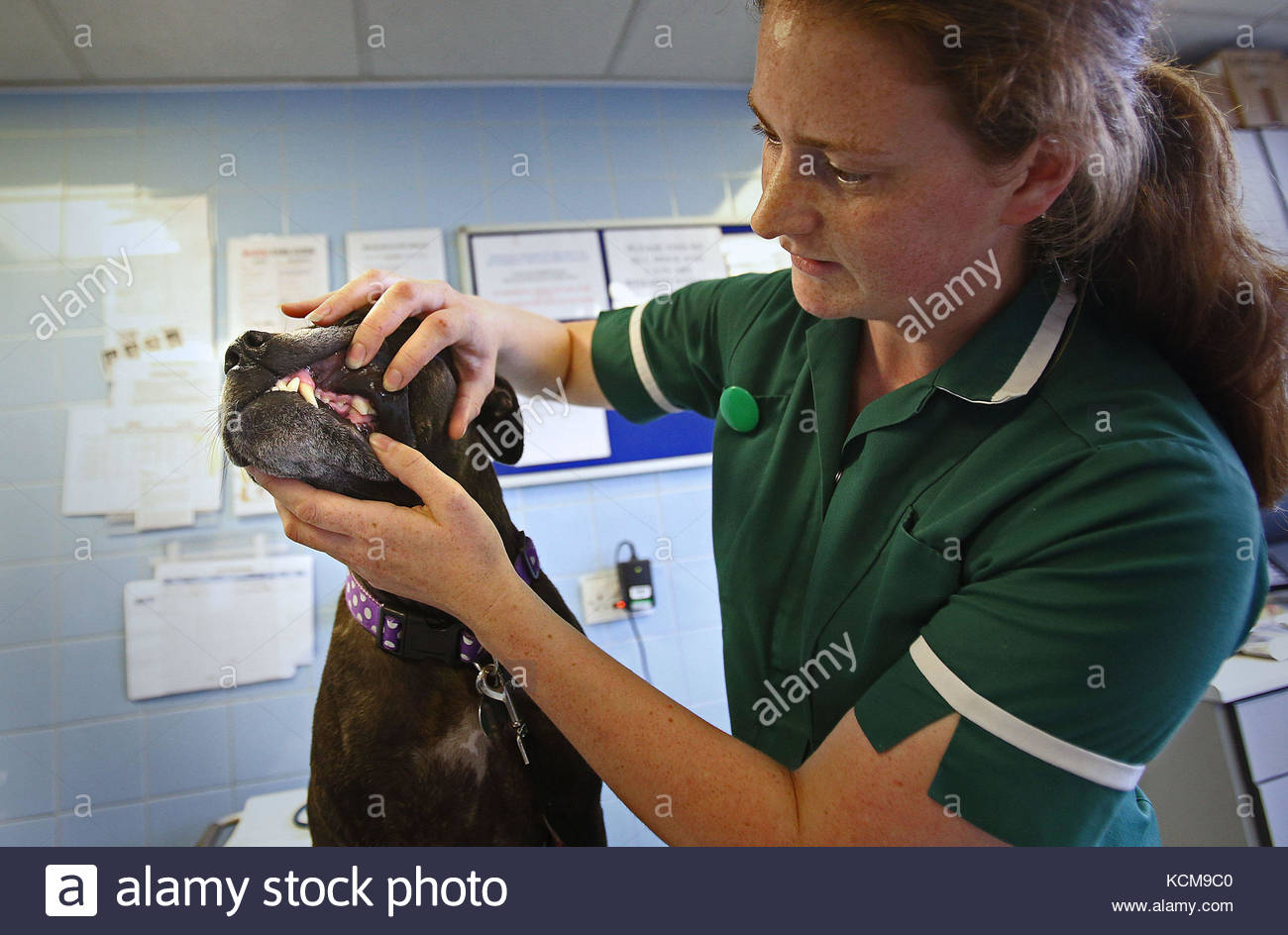 File photo dated 22/8/2013 of a veterinary nurse checking the teeth of a Stafordshire Terrier. Nearly nine out of - Stock Image