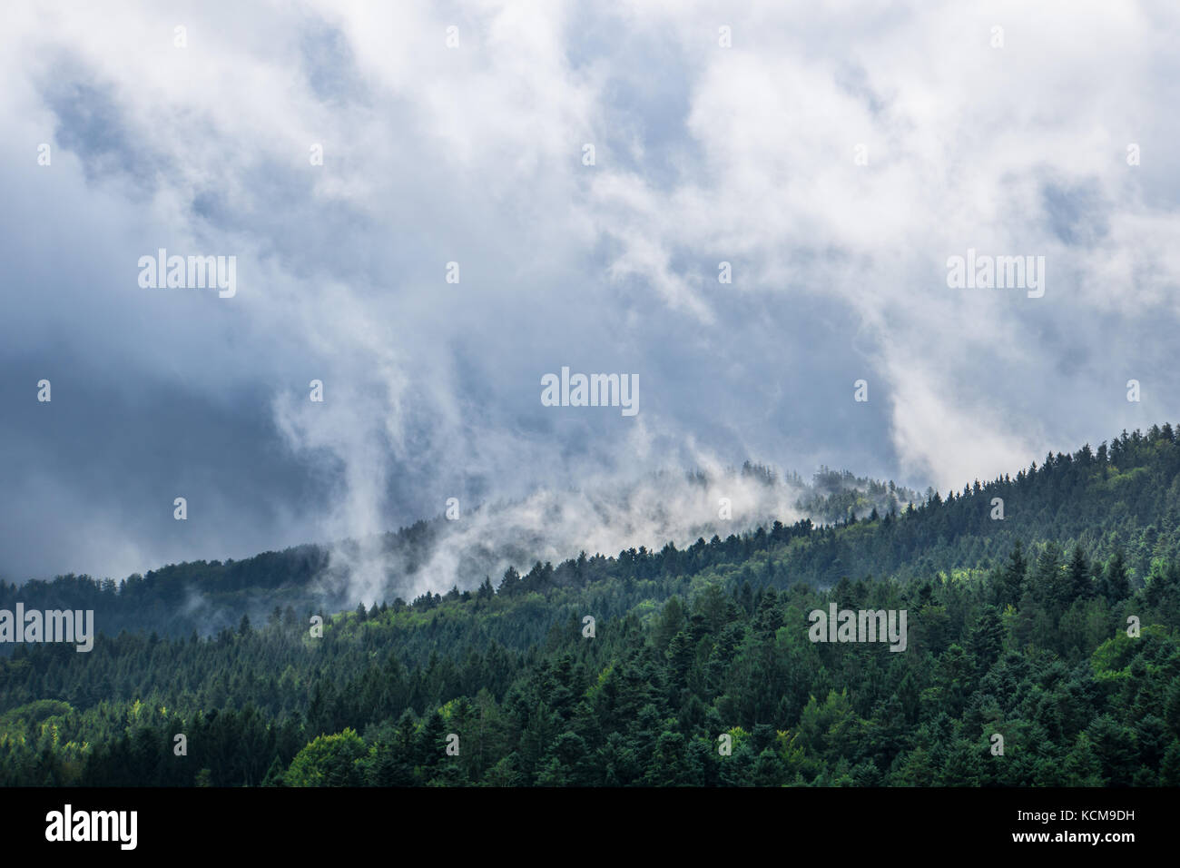 Germany, black forest, waft of mist moving above conifers in autumn morning hours - Stock Image