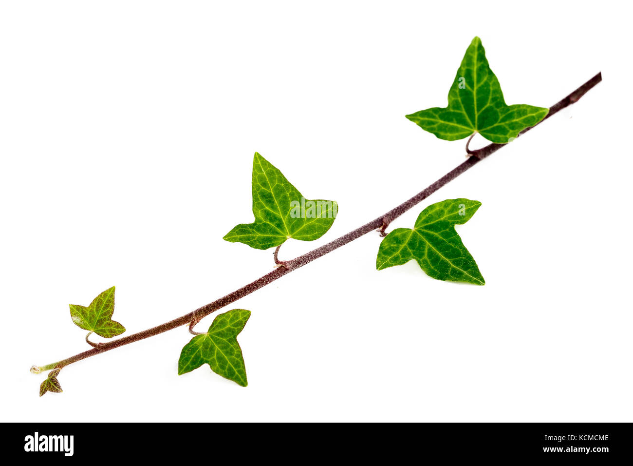 graphical fresh green twig of ivy is isolated on white background, closeup Stock Photo