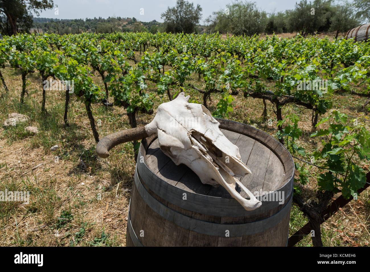 vines of Agur winery, Agur,.Israel Stock Photo