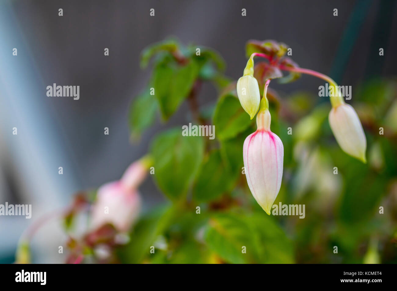 Unopened fuchsia petals ready to bloom in a hanging basket in an English potting shed - Stock Image