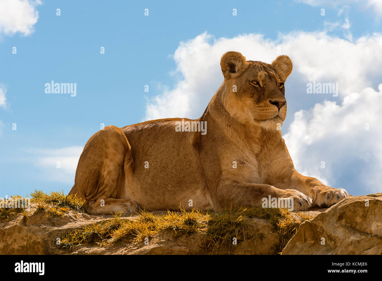 female lion panthera leo standing on the top of a rock on blue cloudy sky background. - Stock Image