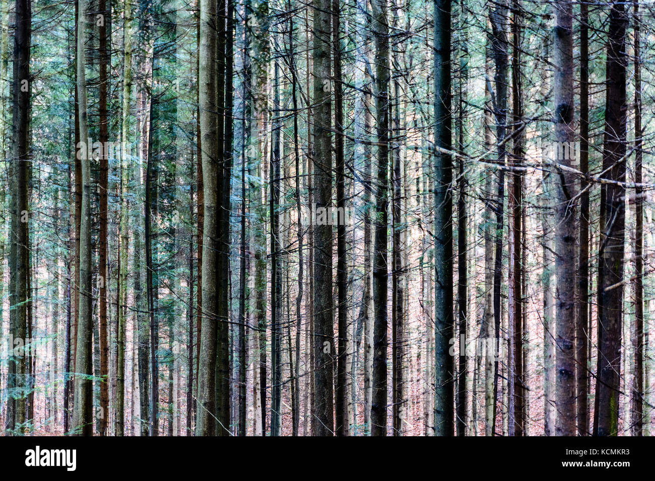 Color multiple exposure abstract artful image of trees in a forest, surreal natural outdoor pattern - Stock Image