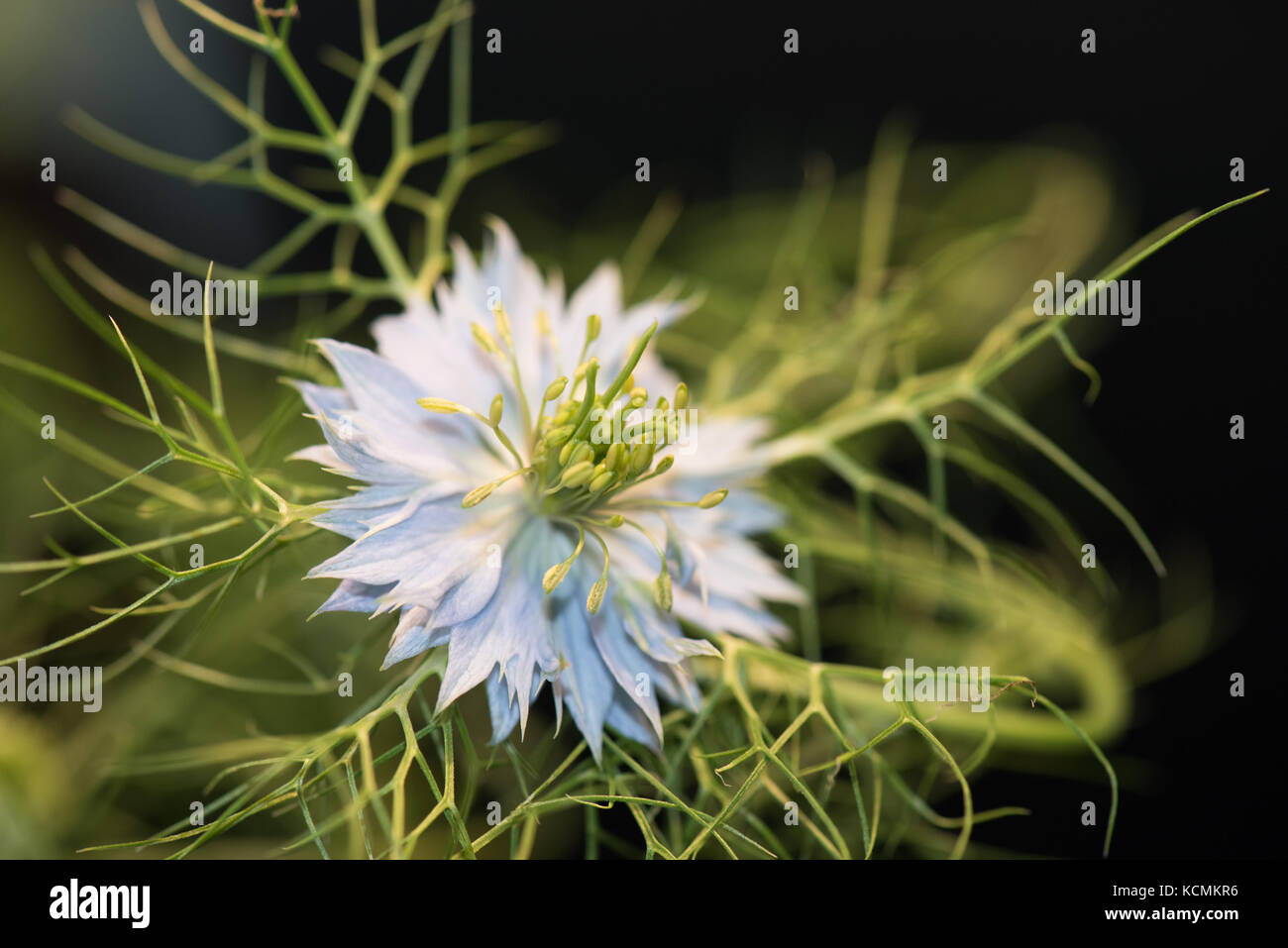 Color outdoor macro of a single violet green flowering love-in-a-mist blossom on natural dark and black blurred - Stock Image
