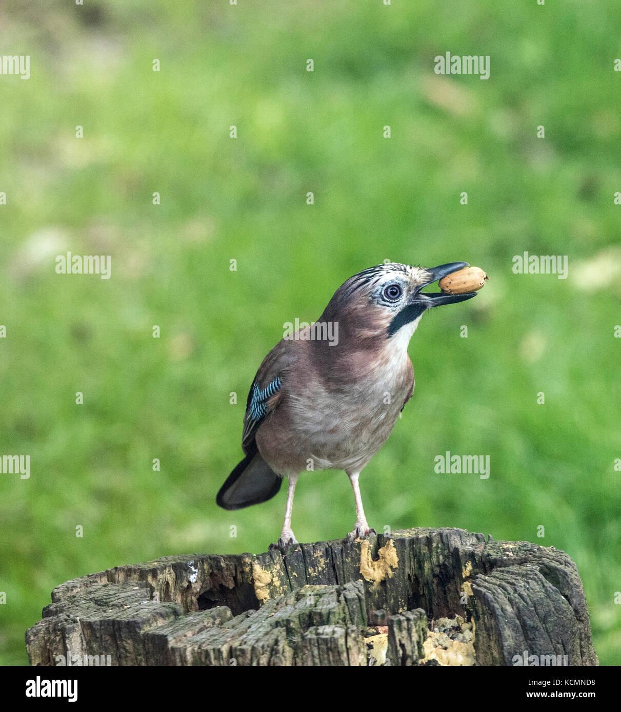 Jay Garrulus glandarius feeding on acorns - Stock Image