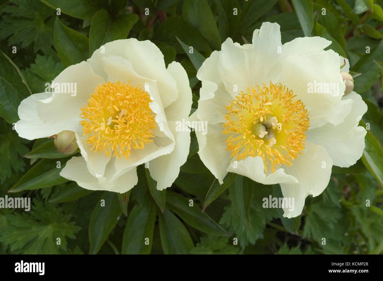 white peonies - Stock Image