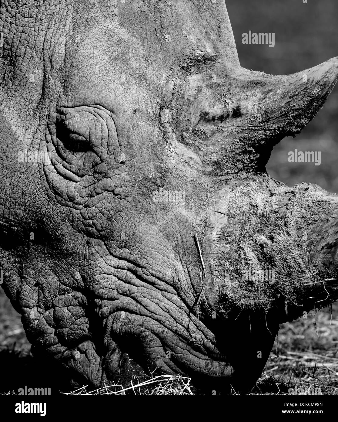 Close up of Southern White rhinoceros face (Ceratotherium simum) outside in sunshine, Cotswold Wildlife Park. Arty, Stock Photo