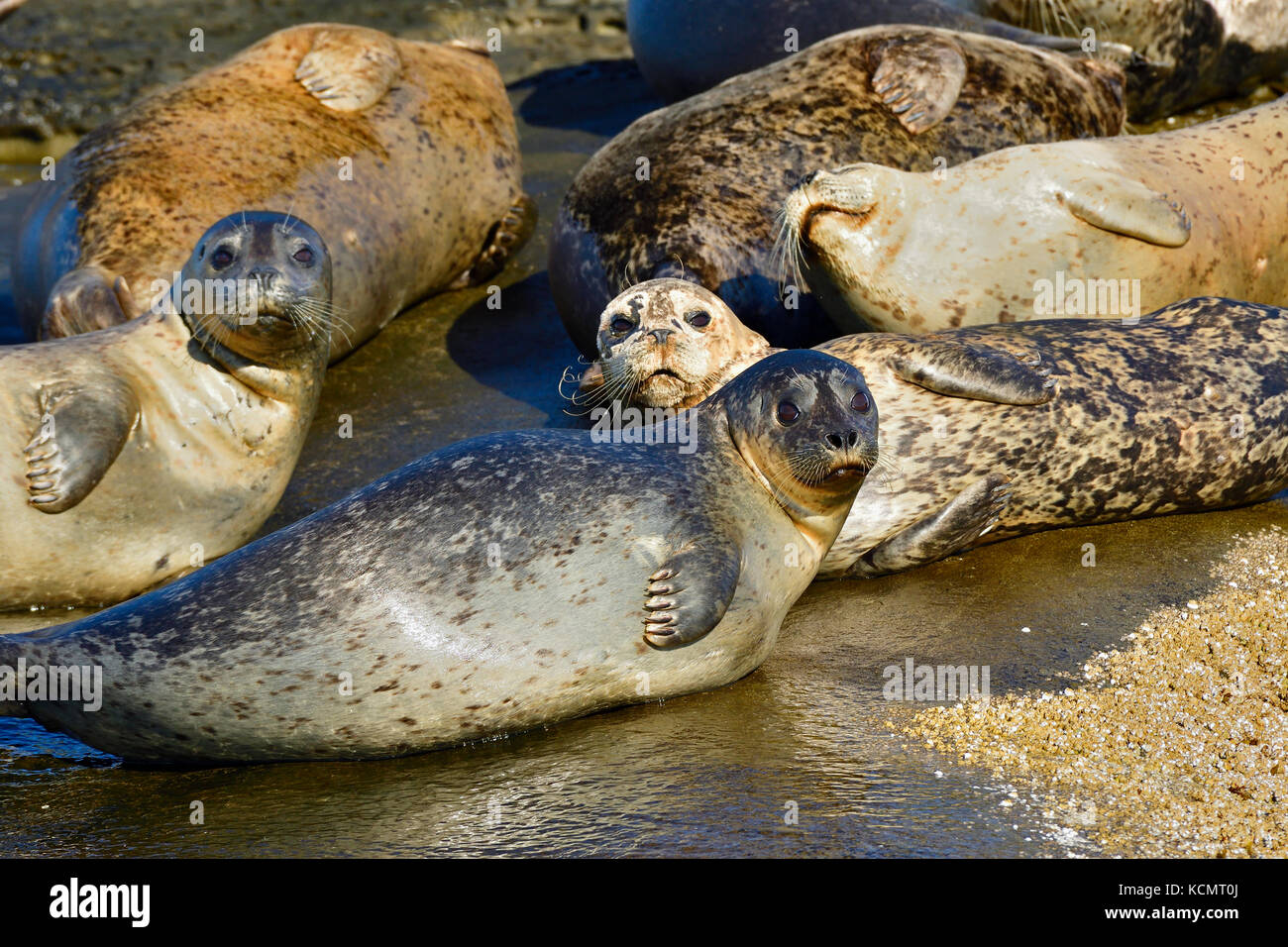 A herd of Harbor seals, (Phoca vitulina), basking in the warm sunlight on a seculeded island shorein the Strait Stock Photo