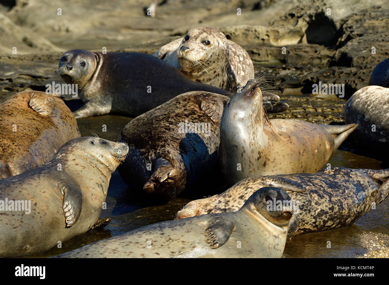 A close up image of a herd of harbor seals (Phoca vitulina);  lays basking in the warm sunlight on a secluded island - Stock Image