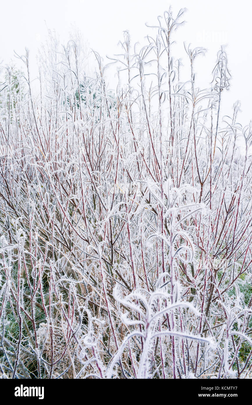 Willow Winter Stems Stock Photos Willow Winter Stems Stock