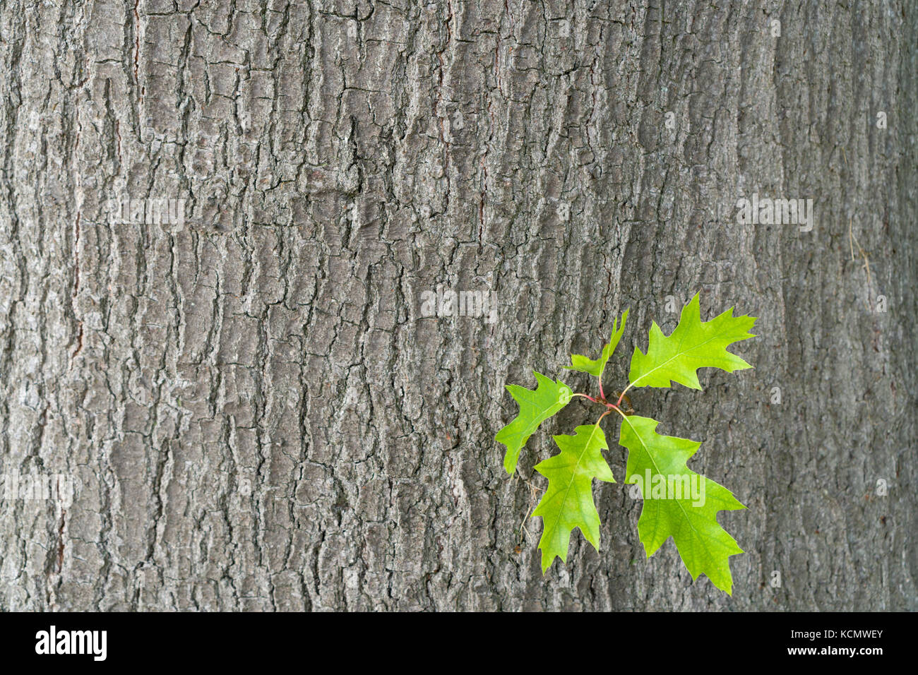 Green oak leaves against a background of oak bark. Spring in an oak grove. Copy spaces. - Stock Image