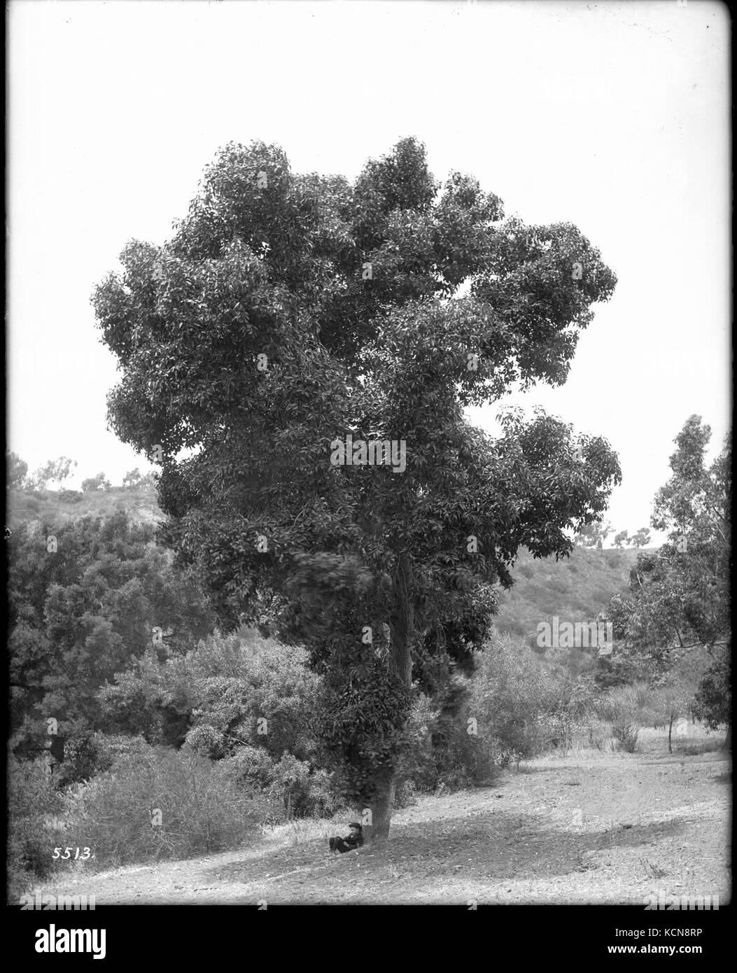 Eucalyptus trees, ca.1900 (CHS 5513) - Stock Image