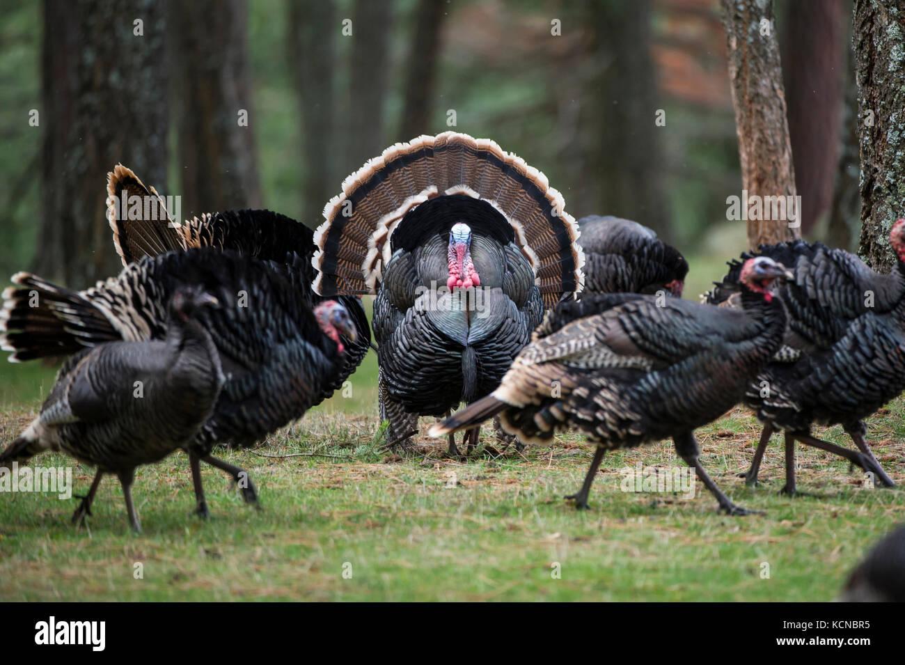 Male Merriams turkeys, Meleagris gallopavo merriami, Central Idaho, USA - Stock Image