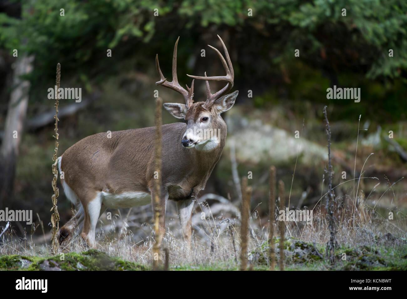 Male Whitetail Deer, Odocoileus virginianus, Central Idaho, USA Stock Photo