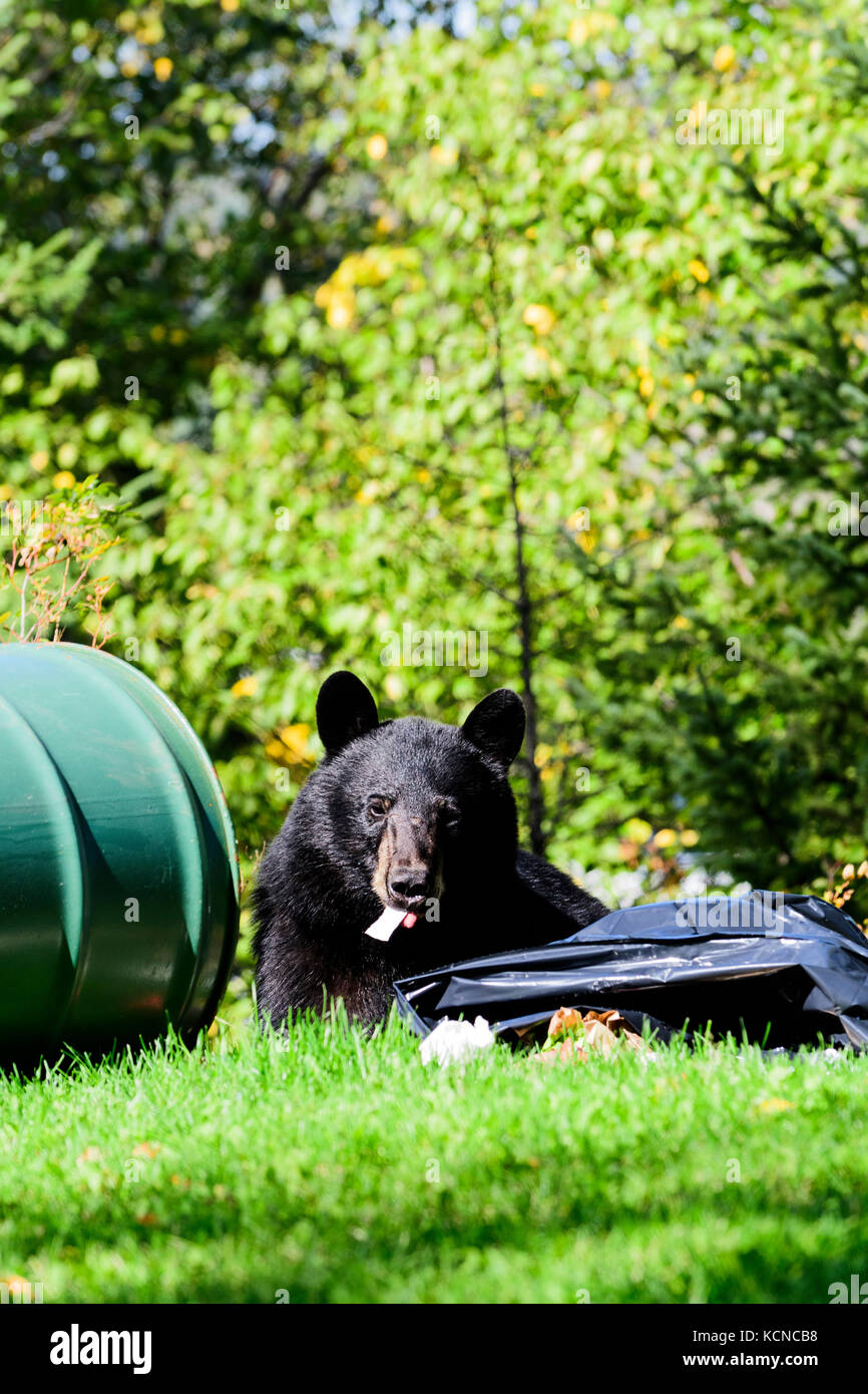 A young black bear enjoys food from a garbage can in Connaught Hill Park in Prince George, British Columbia. - Stock Image