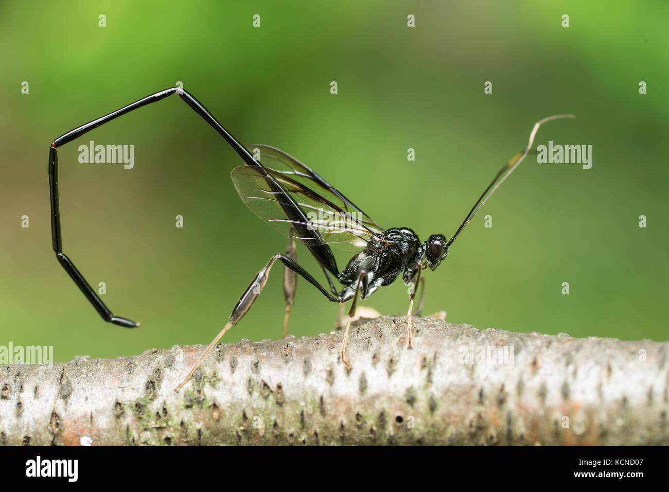 Female American Pelecinid, wasp, north eastern Ontario, Canada Stock Photo
