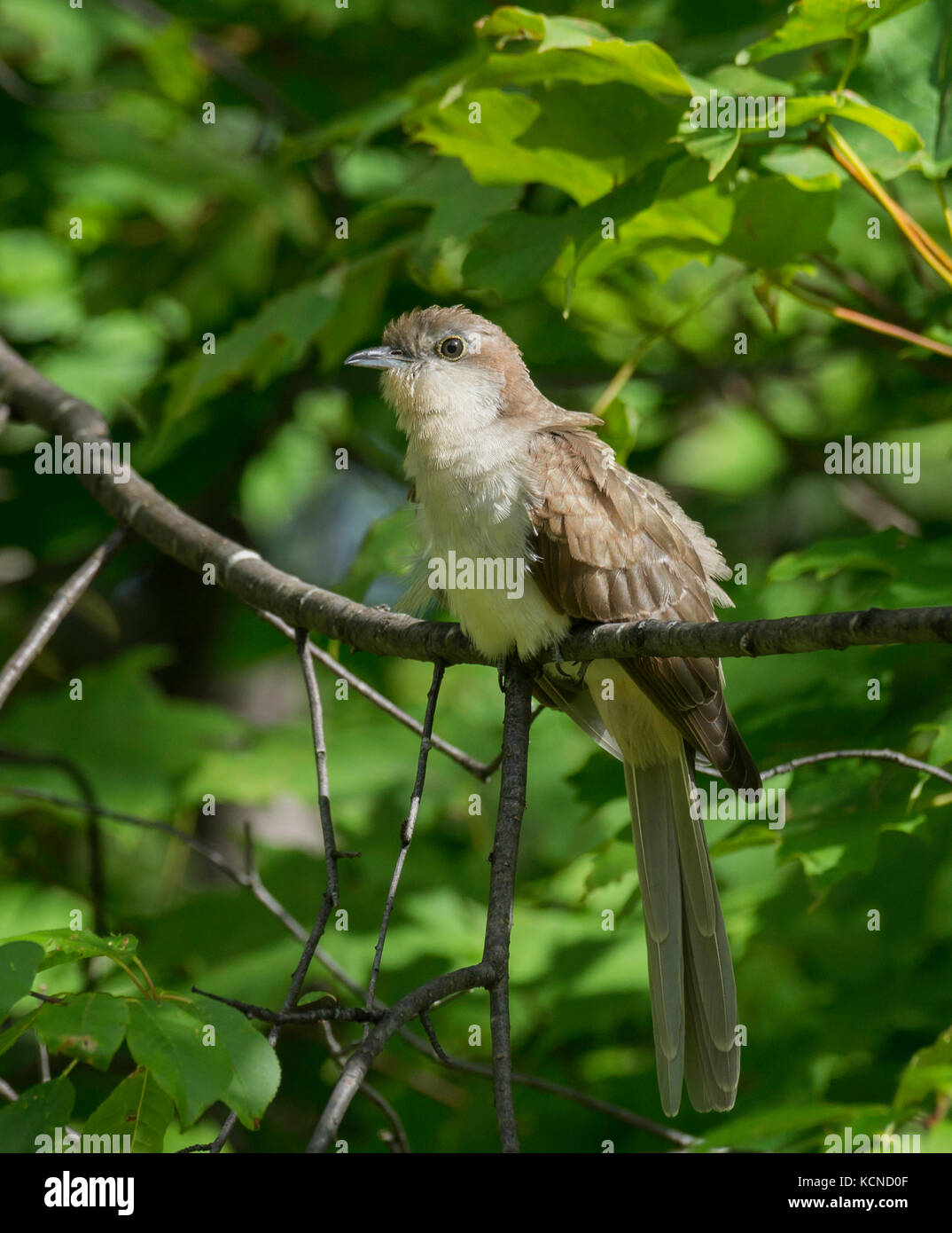 Black Billed Cuckoo Coccyzus Erythropthalmus North Bay Region Eastern Ontario