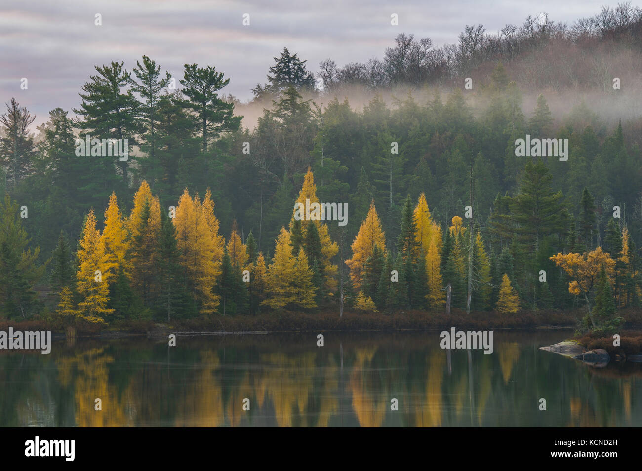 Golden Tamaracks, in the autumn, North Bay region, Canada Stock Photo