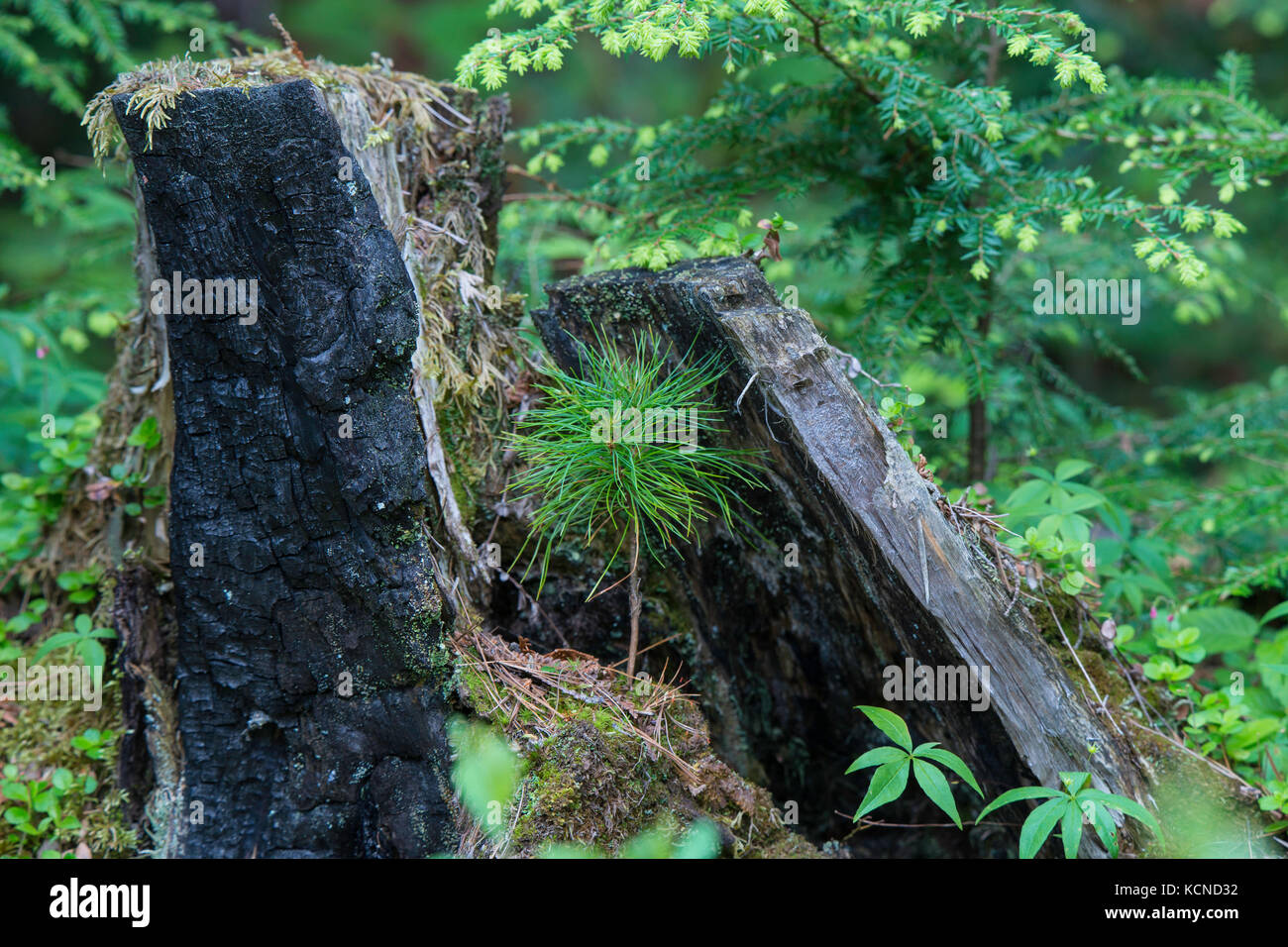 pine seedling growing from stump, north eastern Ontario, Canada Stock Photo