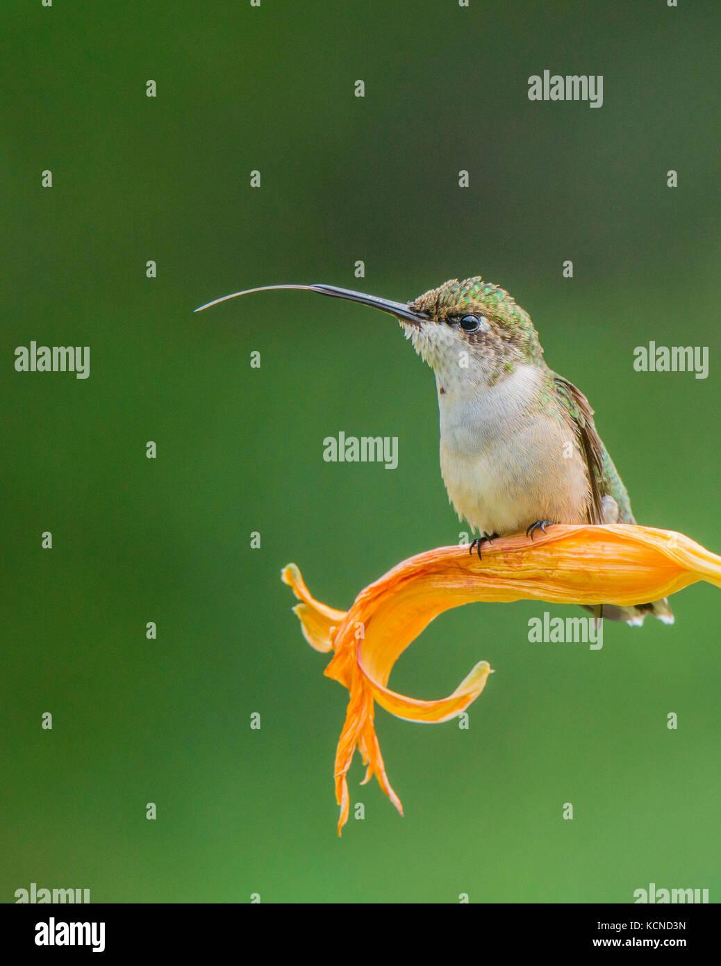 Immature Male Ruby-throated hummingbird, Archilochus colubris, Ontario, Canada Stock Photo
