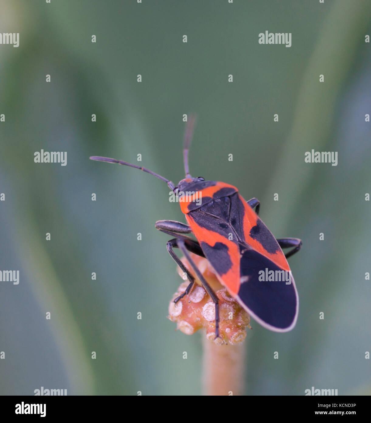 Small Eastern Milkweed Bug, Lygaeus kalmii, North Eastern Ontario, Canada Stock Photo