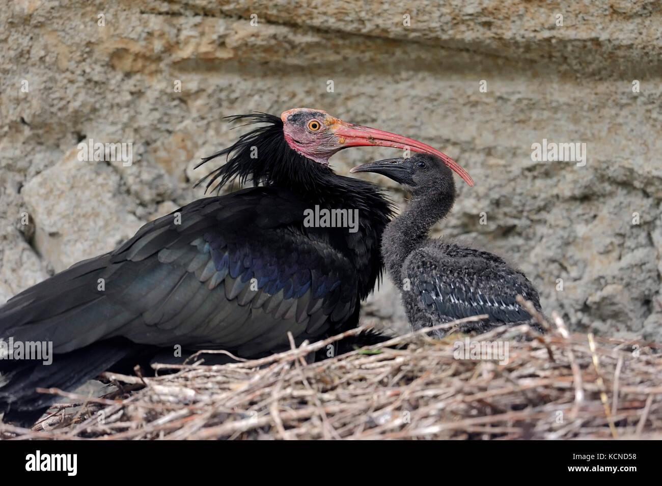 Northern Bald Ibis with chick at nest / (Geronticus eremita) | Waldrapp mit Kueken im Nest / (Geronticus eremita) - Stock Image