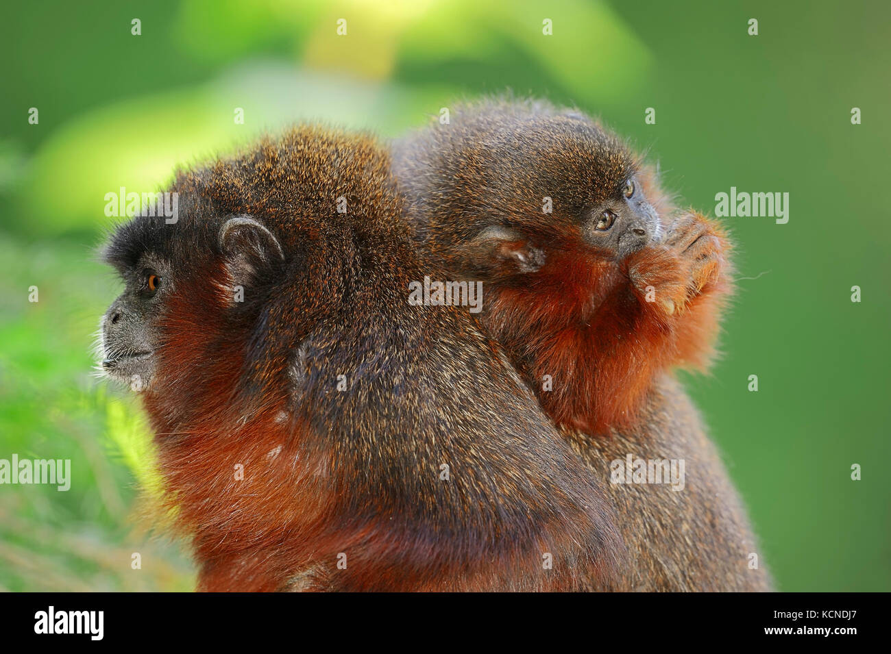 Coppery Titi, female with young / (Callicebus cupreus) | Roter Springaffe, Weibchen mit Jungtier / (Callicebus cupreus) Stock Photo