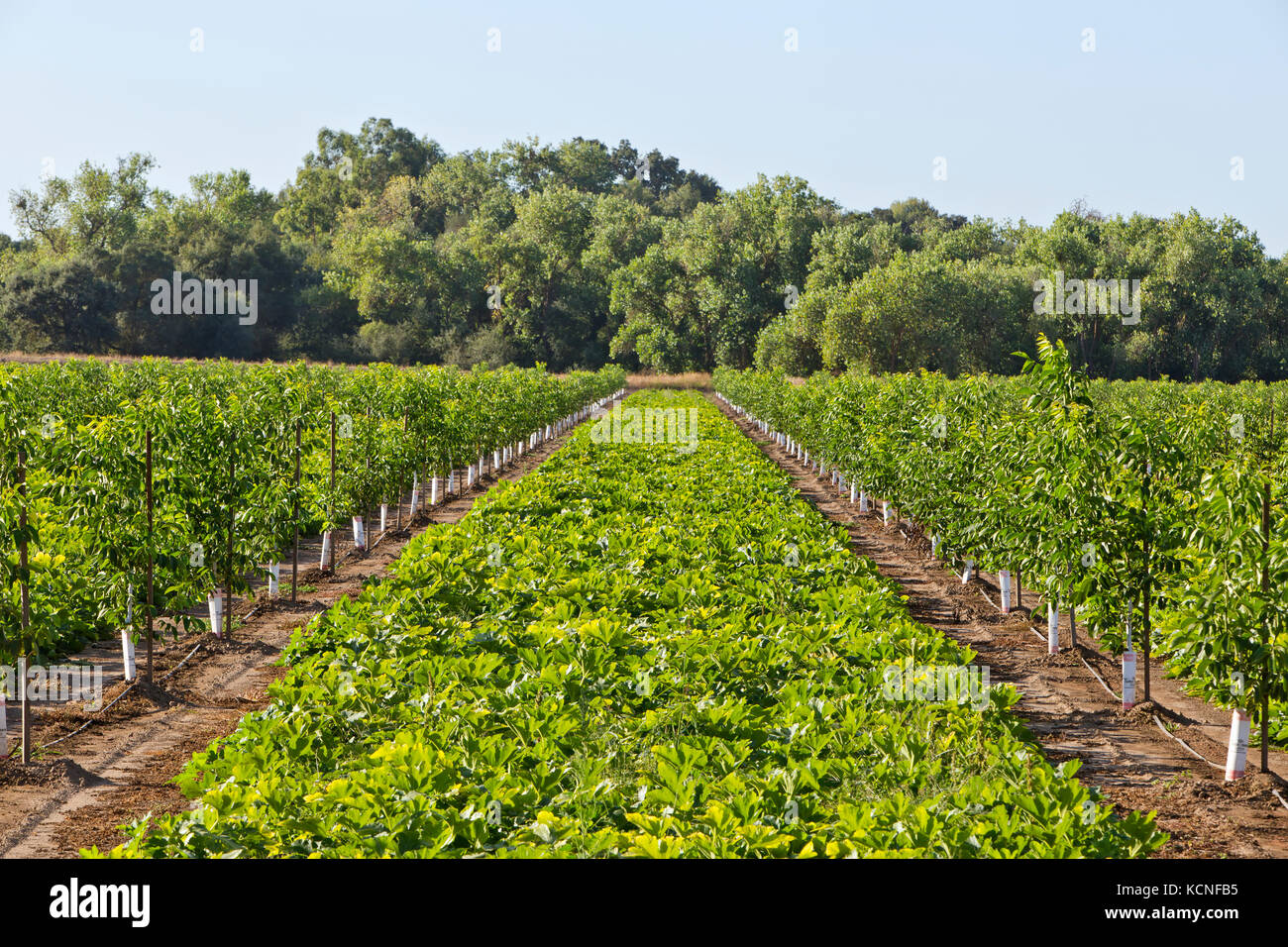 Foliage Chandler Agriculture Farm Farming Produce Growing Stock