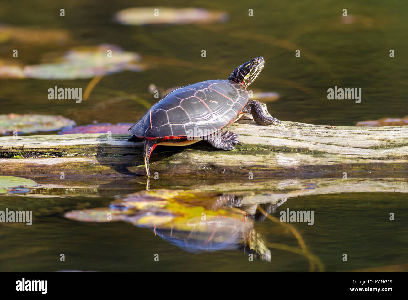 Midland Painted Turtle (Chrysemys picta marginata), Killarney Provincial Park, Ontario, Canada - Stock Image