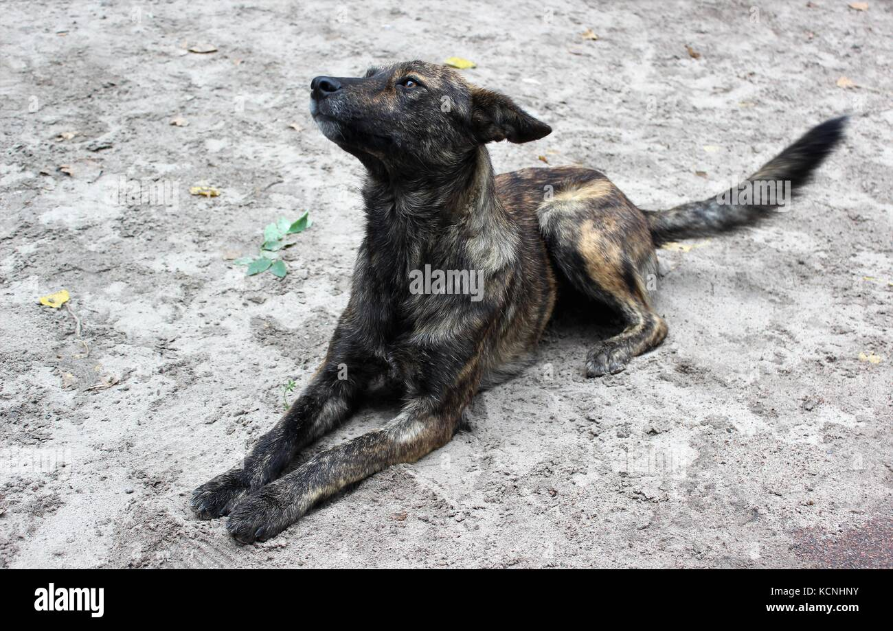 Dog at Chernobyl Ukraine - Stock Image