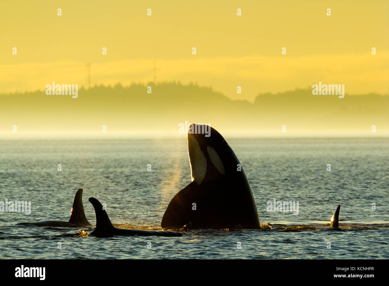 Northern Resident Killer whales playing and spyhopping in front of Alert Bay, Cormorant Island, British Columbia, - Stock Image