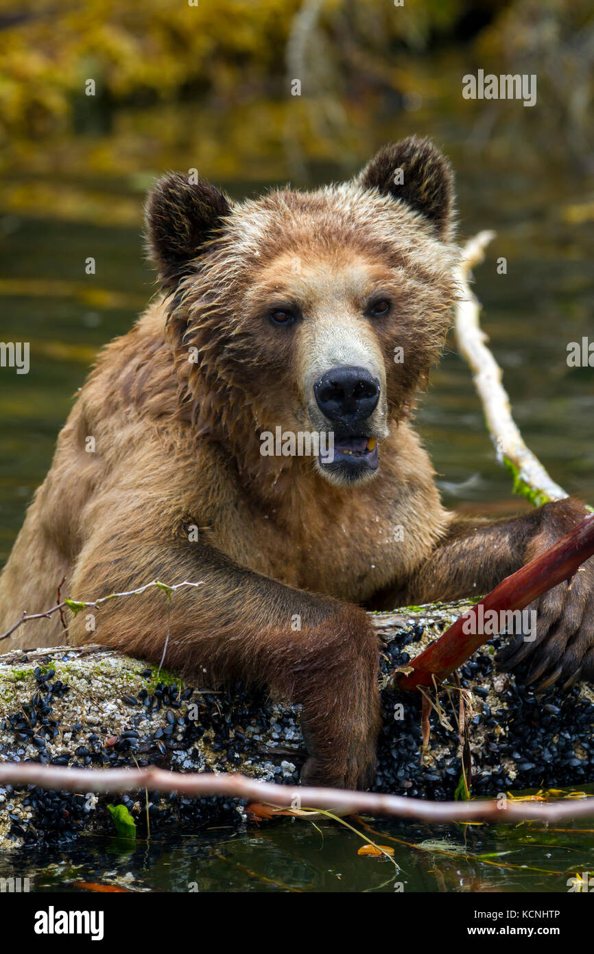 Grizzly bear female playing with a dead tree in the water, along Pacific coast in Glendale Cove, Knight Inlet, British Stock Photo