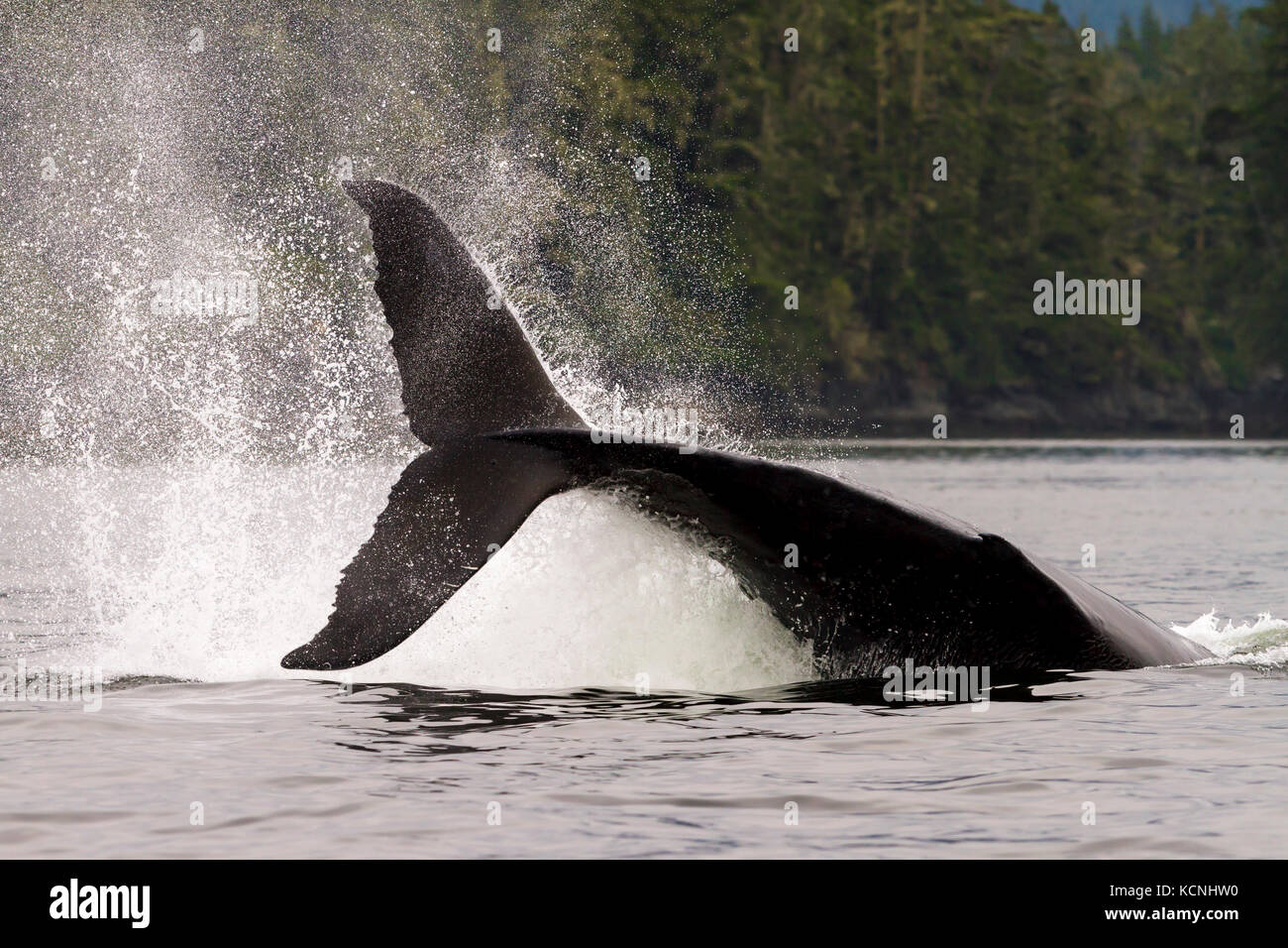 A large male humpback whale hitting his large tail fluke onto the water, aka tail slapping, in Knight Inlet, British - Stock Image