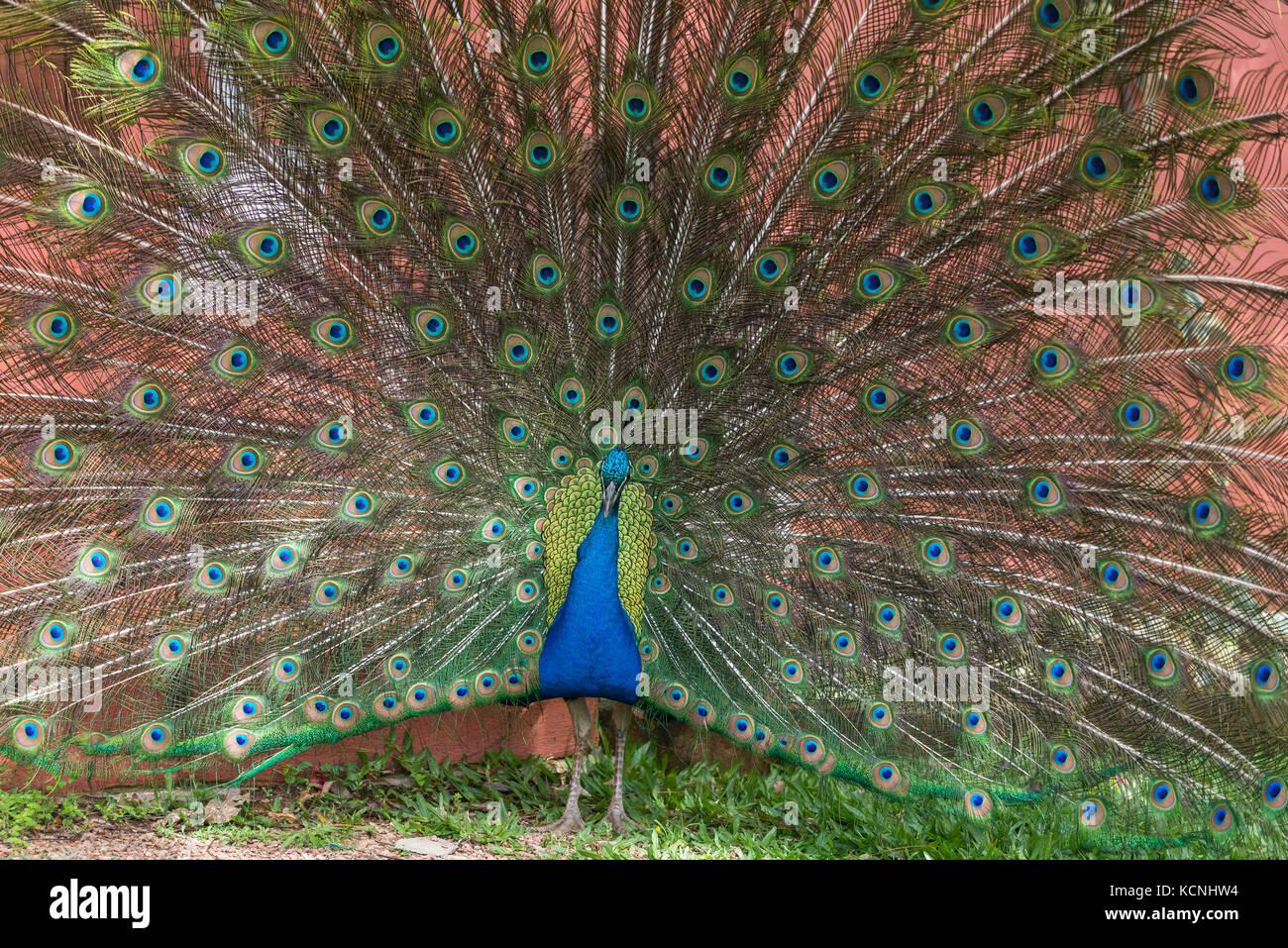 Indian peacock, Vale dos Vinhedos, Grande do Sul, Brazil Stock Photo