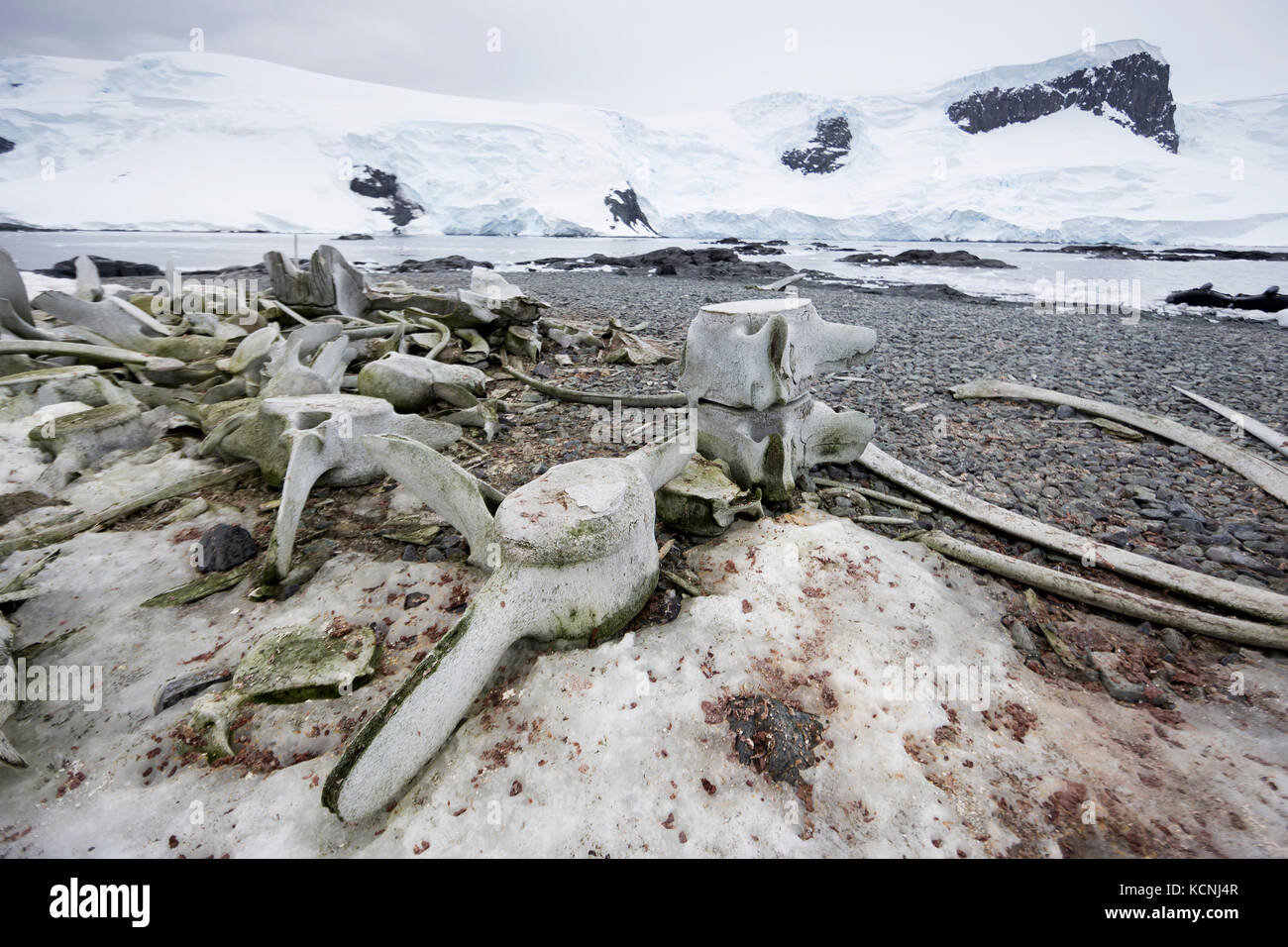 Whale vertebrae strewn along a beach at Mikkerson Harbour attest to the whaling industry that once permeated the - Stock Image