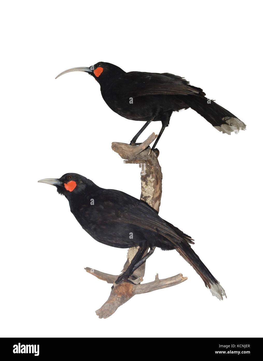 Huia Heteralocha acutirostris.  extinct species of New Zealand wattlebird, endemic to the North Island of New Zealand. - Stock Image