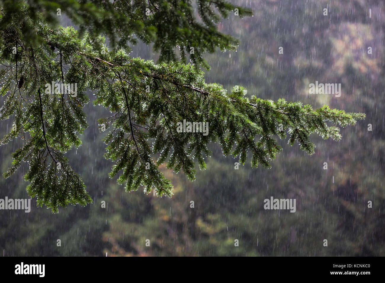 A heavy downpour soaks a fir tree, a common sight on the West Coast, The Comox Valley. - Stock Image